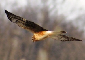 northernharrier