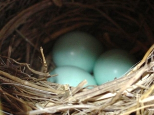 robins-eggs