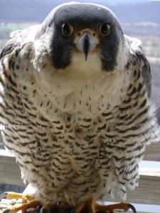 falcon-rev