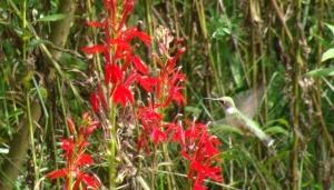 Hummingbird Great  013  8 11 09