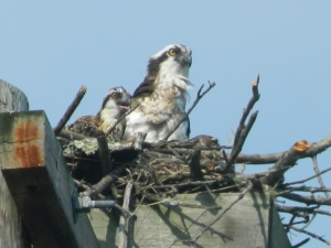 Osprey and chick at the PPL Lake Wallenpaupack Preserve.
