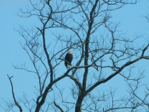Bald eagle overlooking the Lackawaxen and Delaware Rivers. Photo by Sarah Hall.