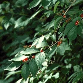 invasive bush honeysuckle from nps site