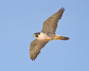 peregrine_falcon_3[1]