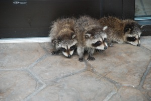 raccoons 3d